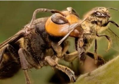 MURDER HORNET (Asian Giant Hornet) attacking Honey Bee.