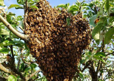 Bee swarm bellingham Bee swarm removal Custer WA bee help Whatcom county