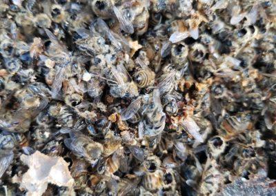 Bee colony massacred by Asian Giant Hornet (Murder Hornet).